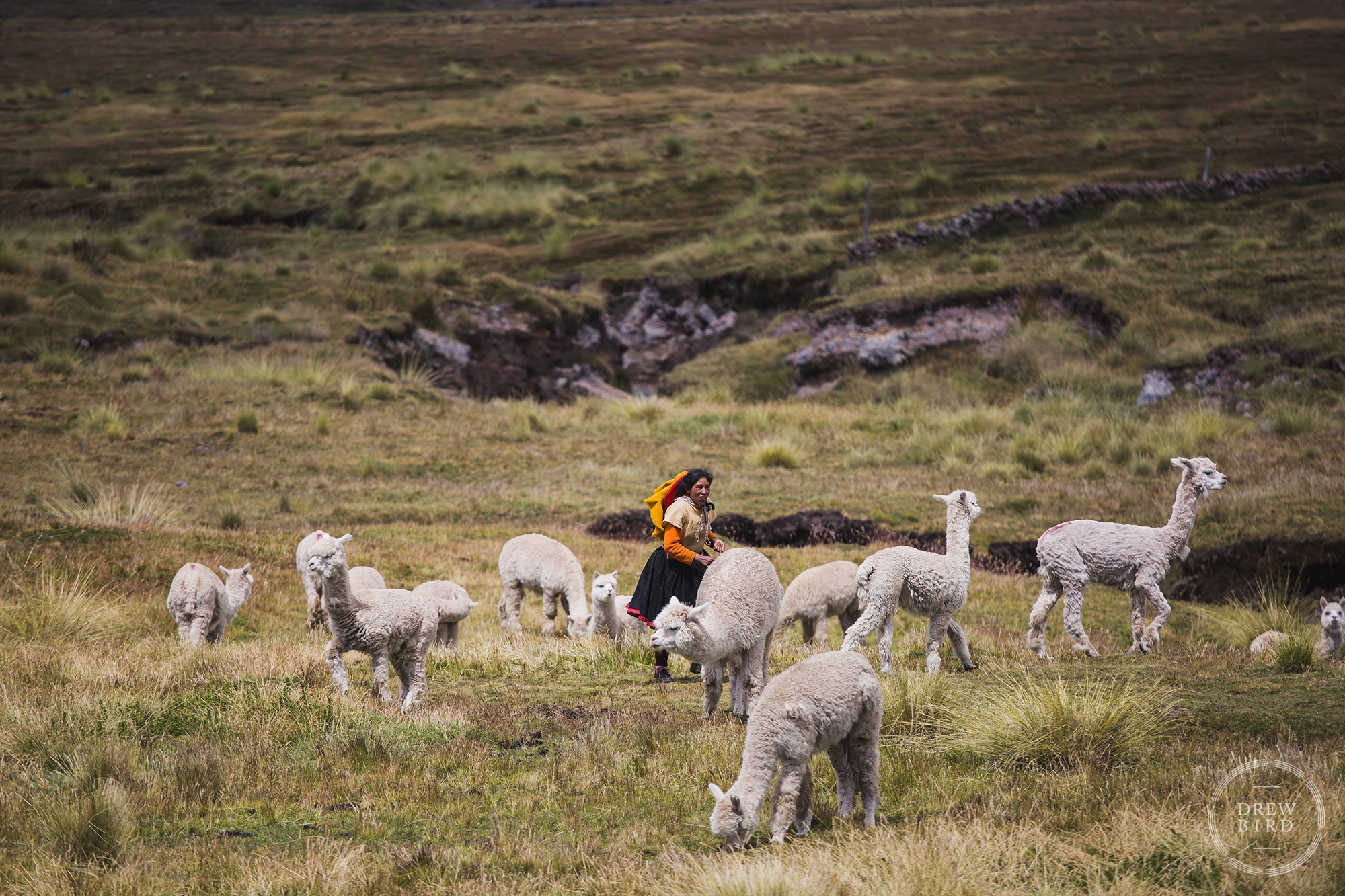 A young woman alpaca farmer runs across a high mountain field among her herd of alpacas near the Ausangate Glacier in the Andes Mountains of Peru. An editorial and travel photo project about climate change and glaciers. Climate change stories.